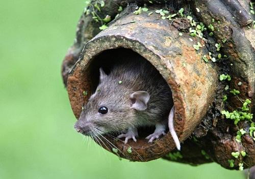 chuột chết trong cống