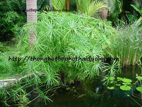 cây thủy trúc xử lý nước thải